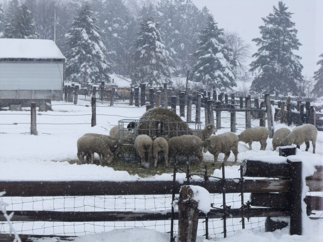 Sheep are extra hungry with all of the snow and cold weather.