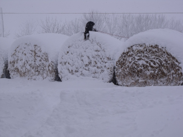 Babe playing King of the Bales:)