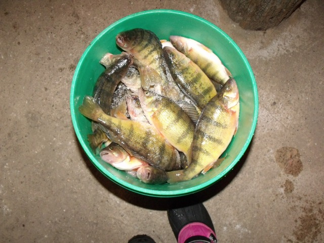 One of the pails of fish ready to be cleaned.