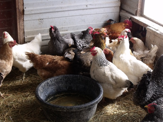 Happy hens, clean chicken house.