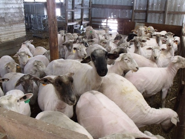 Beautiful flock of shorn ewes.  Great job if I may say so myself!