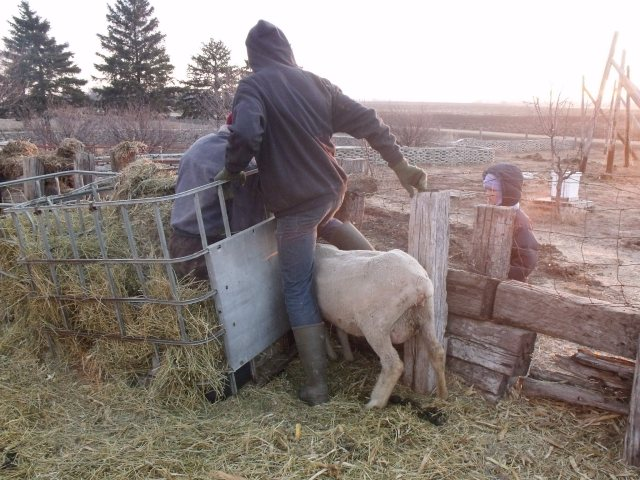 Here is an example of shepherds being needed for this ewe who got her head stuck in a feeder.  It took two to do because she fought it all the way!