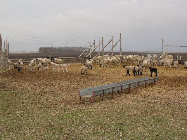 Part of our lamb and sheep herd.