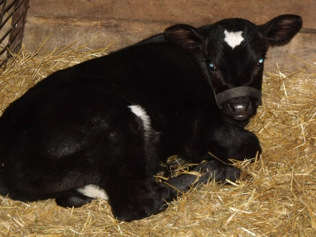 Healthy baby bull calf clean enough to snuggle with!