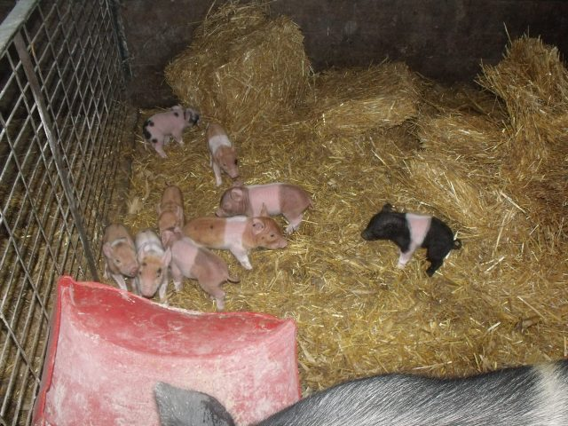 "The sow in the next maternity pen had 9 babies, all of which are alive thanks to our ""midwife"", Marisa."