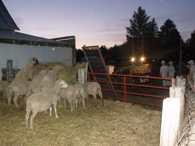 Sheep would rather eat then observe the late day activity!