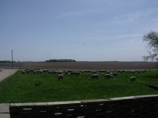 We let the sheep out for the first time a few days ago.  They were so happy.  This is the view from our front yard!