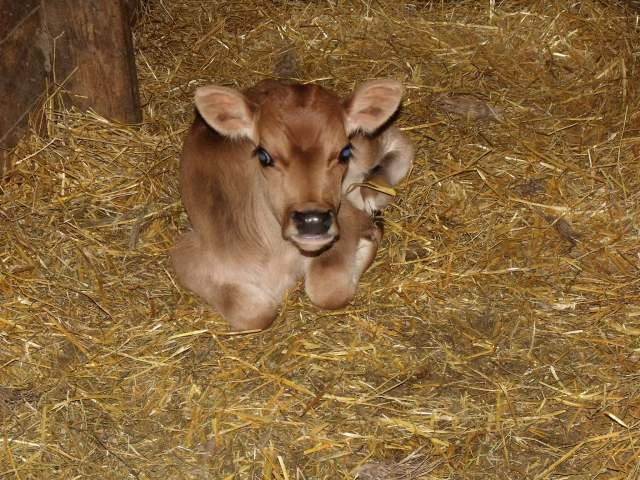Isn't this little jersey calf a real cutie?  We have 4 babies and Maggie is in charge of feeding them warm milk fresh from the cow.
