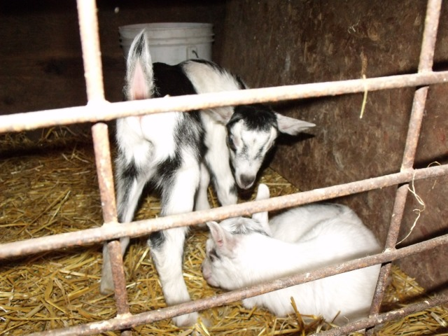 Two goats born last night on Jess and Luke's 6th Wedding Anniversary!  Happy Anniversary to a great couple.  I think we are naming them after Jess and Luke too!