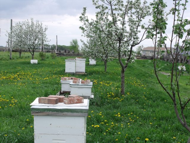 One set of our bee hives out near the hops yard with Peter and Frenchy's place in background.  More beautiful blossoms!