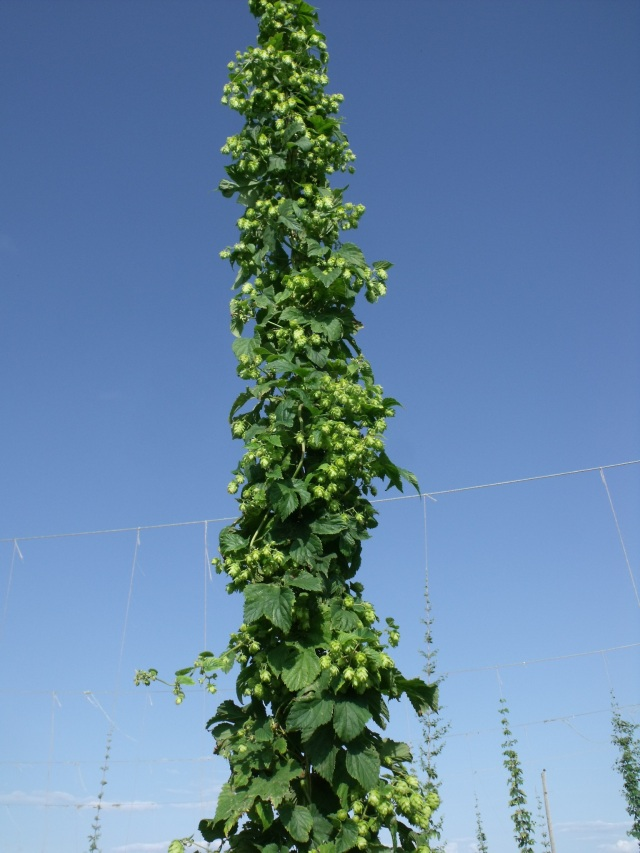 Hops vine looks like something in Jack in the Beanstalk!