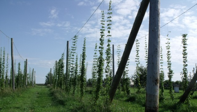 Rows of hops soon to be turned into beer.