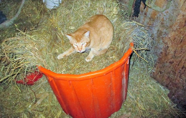 Content cat in a cozy barn.  A good life for cats too!