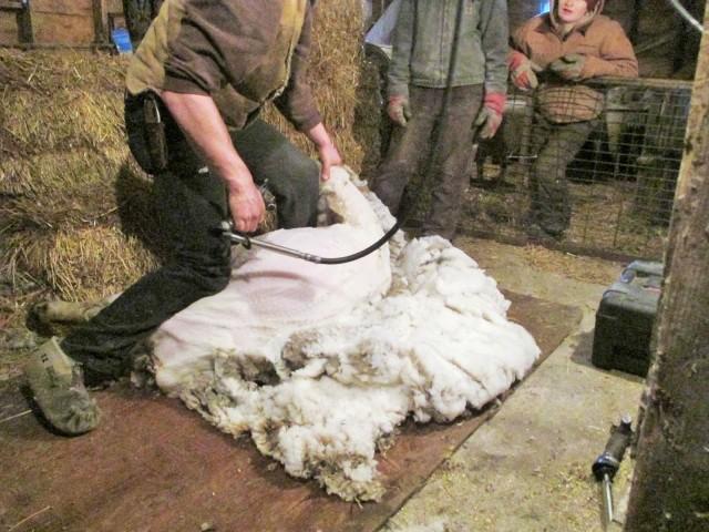 Nice clean job of shearing.