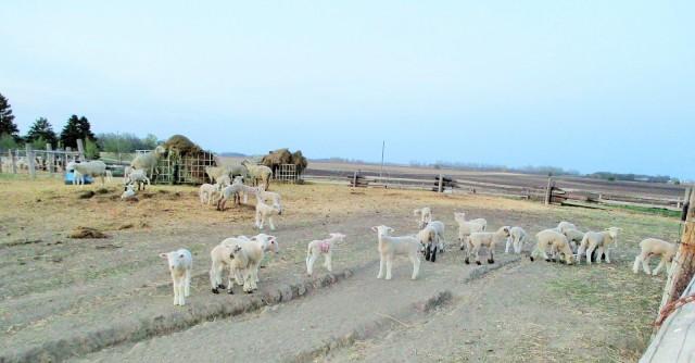Healthy crop of lambs enjoying the evening air.