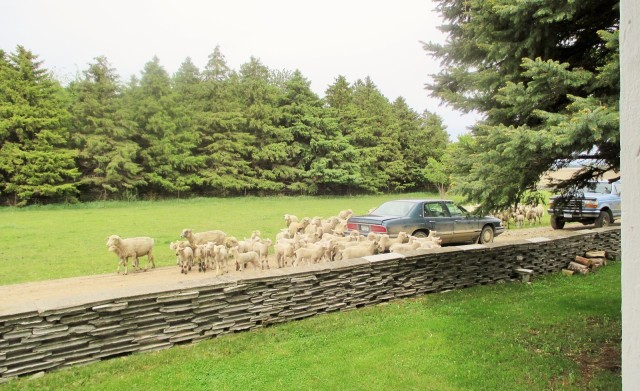 Ewes and lambs being moved to their second grazing paddock.