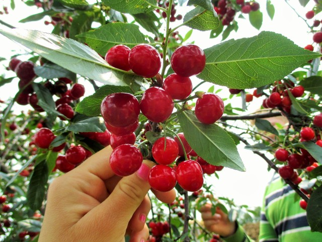 Beautiful crop of pie cherries!