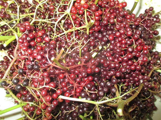 Elderberries for wine.