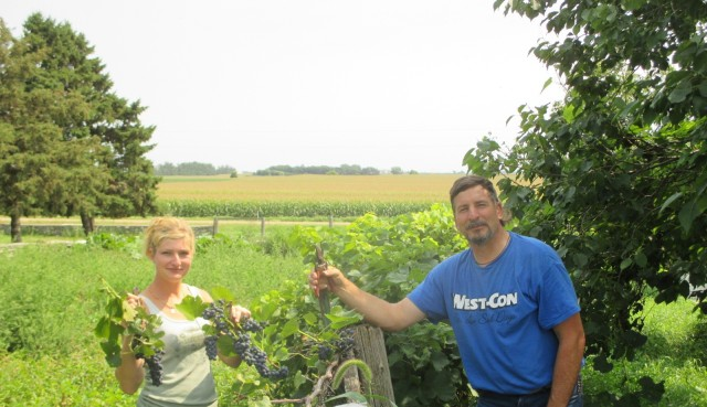 Marisa and Fred harvesting grapes. They filled 4 five gallon pails which I started juicing. We will be harvesting more tomorrow and I am juicing them down.