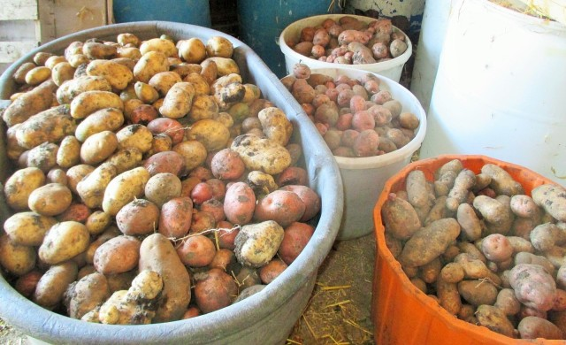 Potatoes to be served at least three times a day!