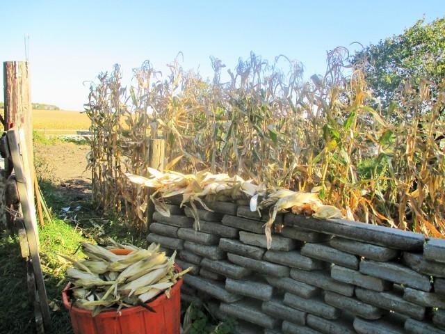 Popcorn crop 2015