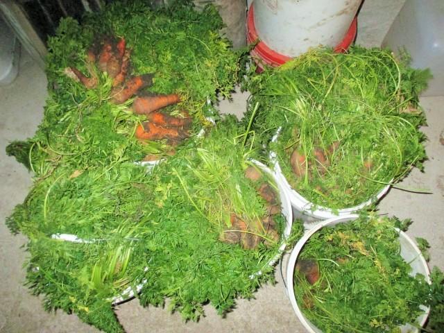 Carrots fresh from the garden in November.