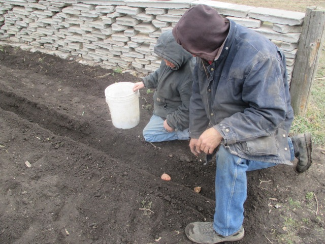 Fred and Mario planting a few rows of potatoes to keep our tradition alive.