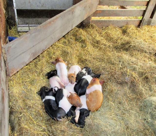 Happy piggies on the Callens Farm.