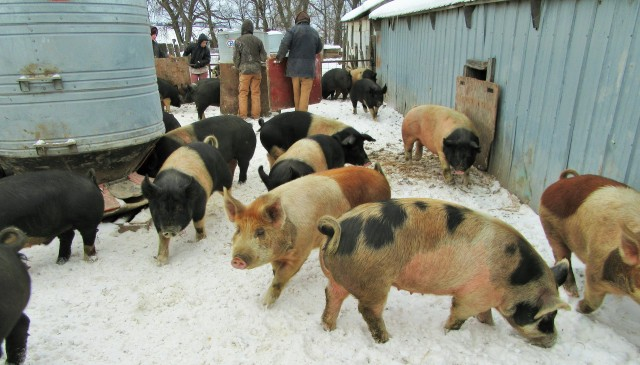 Sorting the largest hogs for market.
