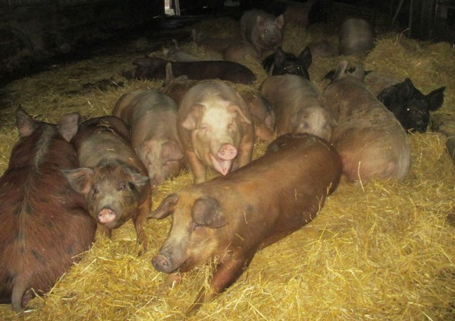 Happy bred gilts stay warm and cozy snuggled up together in a warm bed of straw. They don't seem to care about the boars do they?