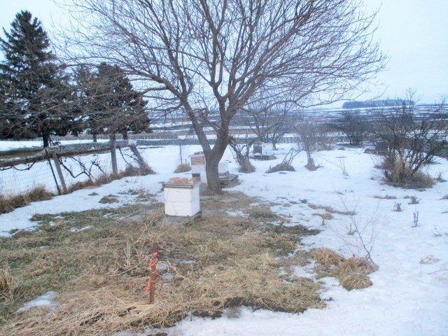 Some of the hives next to the orchard and garden during a long winter.