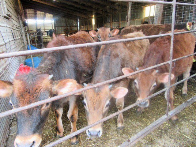 Some of the cattle are excited just before we moved them into the arena.