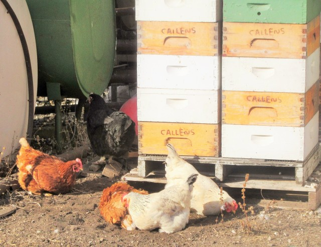 The biddies are out taking a dust bath in the warm afternoon sunshine.
