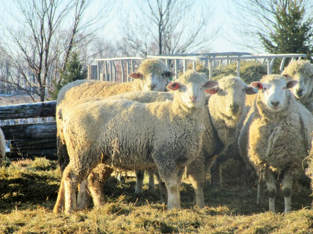 "These lovely sheep are scheduled for a ""hair cut"" on March 2! Aren't they lovely?"