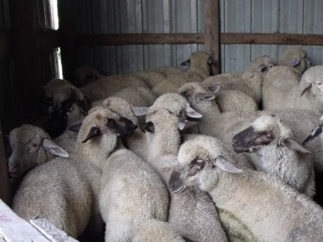 lambs sheared 079
